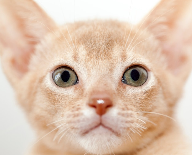 Photo of a small abyssinian kitten looking into the front