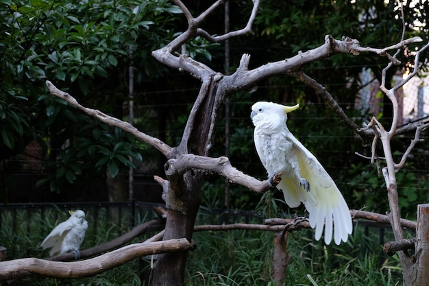 Photo of two sulphur-crested cockatoo on tree branches in a zoo