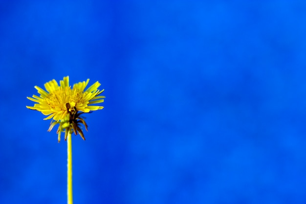 Photo of yellow dandelion flower against blue background