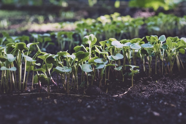 Photo of young sprouts  in the garden in the ground. planting vegetables in spring