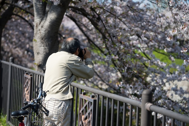 Photograph cherry blossom at gojo river, nagoya
