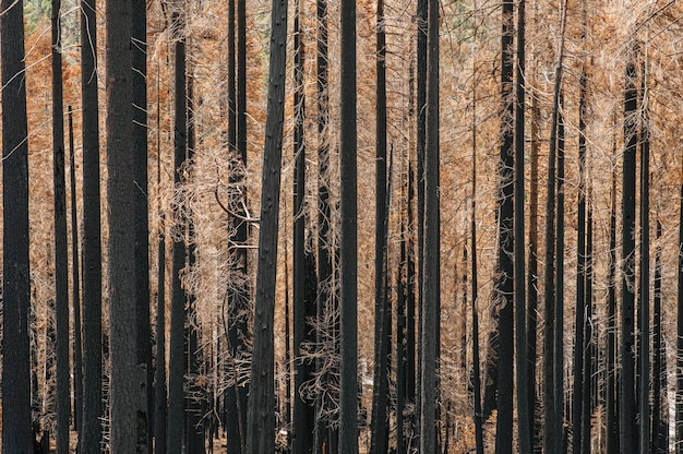 Photograph of a forest of burned trees after a fire. black and yellow brown colors with ocher tones. the trees are pines