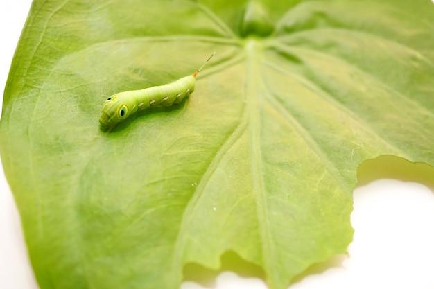 애벌레의 사진은 부분적으로 먹은 잎과 함께 큰 녹색 잎에 기어갑니다.