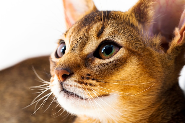 Photographed by a close up the head of a small abyssinian kitten