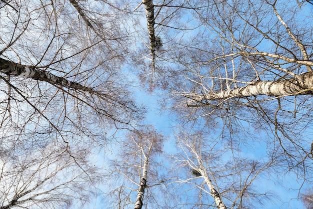 冬のクローズアップの裸の白樺の木、青い空、木のてっぺん、