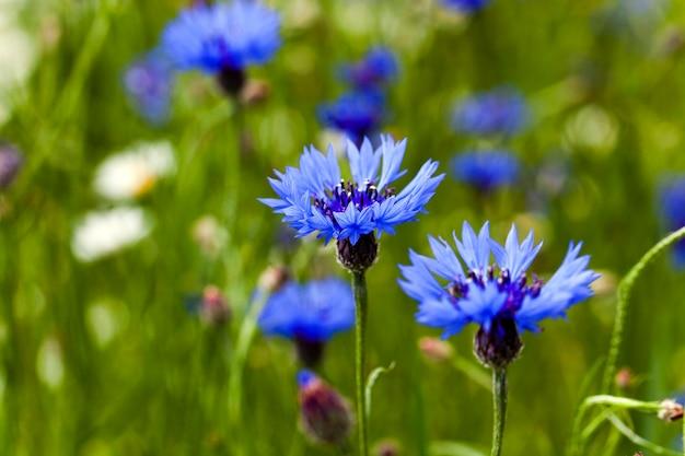 필드에서 성장하는 파란색 수레 국화를 가까이 촬영. 봄