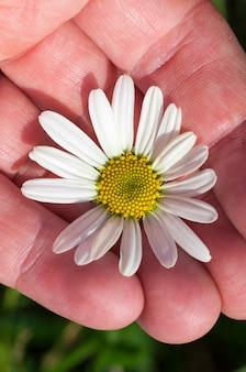 写真のクローズアップカモミール、白い花びらを持つデイジーの花