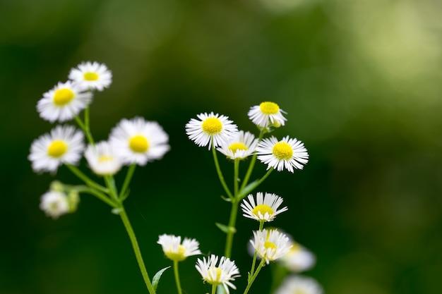 푸른 잔디의 배경에 흰색 꽃잎과 근접 촬영 데이지 꽃