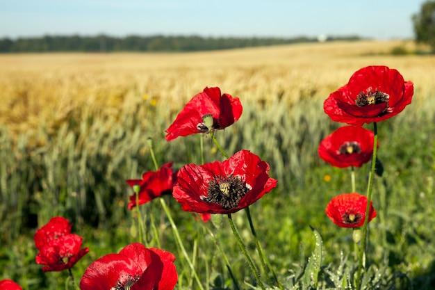 夏の野原で撮影された赤いポピーのクローズアップの花