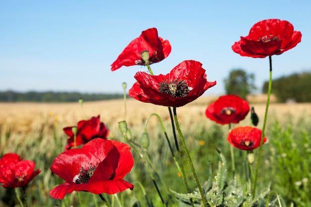 Сфотографированы крупным планом цветы красных маков в летнем поле