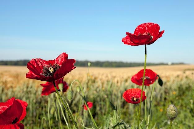 여름 필드에 빨간 양 귀 비의 근접 촬영 꽃
