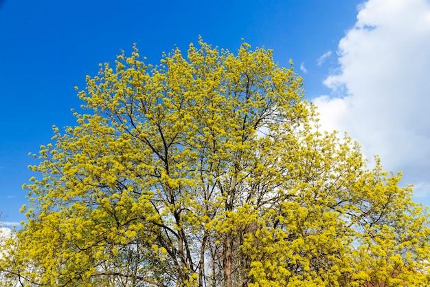 꽃이 만발한 나무 단풍 나무의 근접 촬영 녹색과 노란색 꽃. 봄 기간