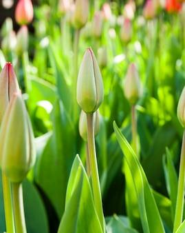 赤いチューリップの庭で成長しているクローズアップ写真。春