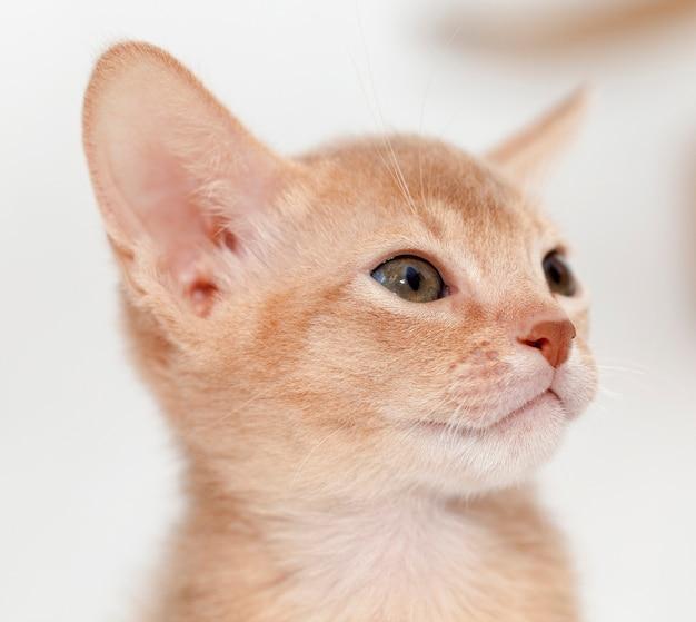 Сфотографирована голова абиссинского котенка крупным планом. цвет палевый