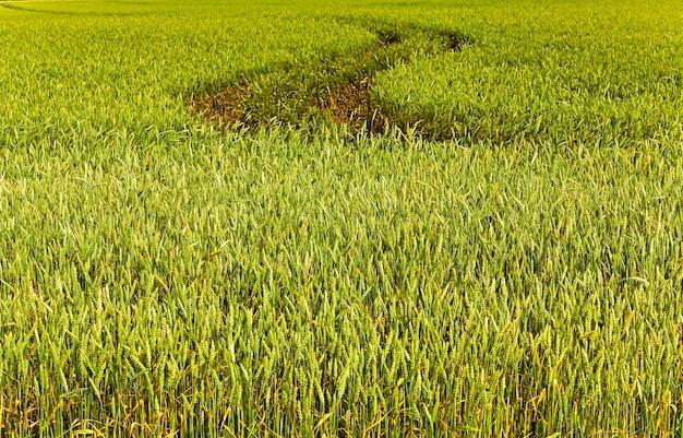 촬영 된 미성숙 한 곡물을 닫습니다. 봄 기간. 밀