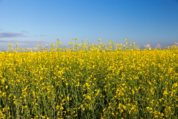 Сфотографирован крупным планом в сельскохозяйственном поле цветок рапса