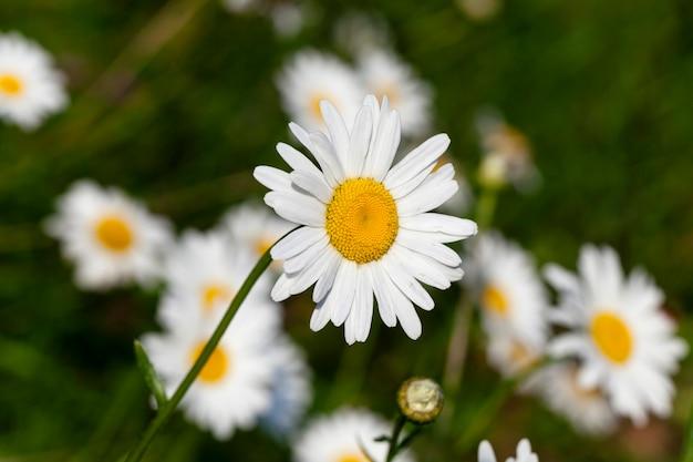 Сфотографировал крупный план белой ромашки. летом. весна