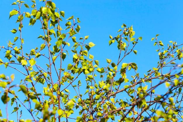 푸른 하늘에 젊은 자작 나무 녹색 잎의 근접 촬영