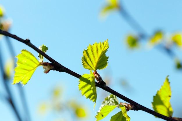 Сфотографированный крупный план молодой березы с зелеными листьями на голубом небе