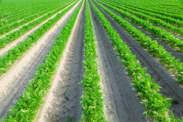 당근의 녹색 싹이 자라는 농업 분야의 근접 촬영