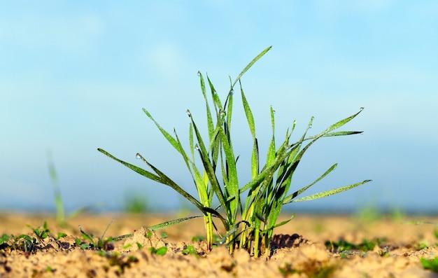 夜明けの太陽の緑の小麦の芽の写真のクローズアップ
