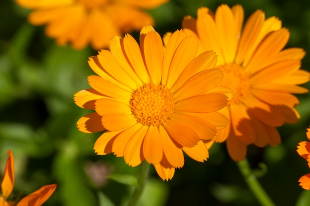 오렌지 금송화 꽃의 근접 촬영, 봄 시즌