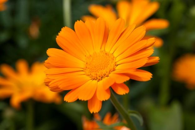 医療目的に不可欠なマリーゴールドのオレンジ色の花の写真のクローズアップ