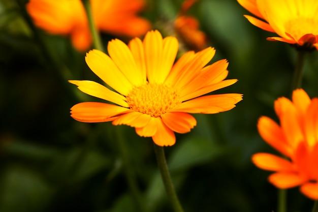 의료 목적에 필수적인 메리 골드 오렌지 꽃의 근접 촬영