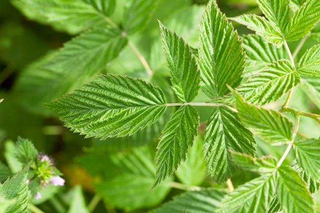 여름에 라즈베리 녹색 잎의 클로즈업 촬영. 작은 피사계 심도.