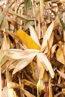 농업 분야에서 성장하는 익은 노란색 말린 된 옥수수의 근접 촬영. 열린 귀 공장.