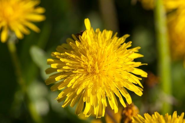 Сфотографированный крупный план желтых одуванчиков весной, малая глубина резкости