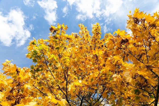 秋のカエデの木の黄ばんだ葉のクローズアップ写真。太陽が植物を照らし、バックライトを当てます。背景の空