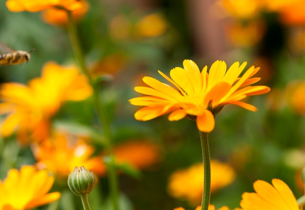 Photographed close-up of orange calendula flowers, spring season