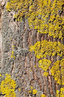 Photographed close-up part of a tree trunk with lichen growing on the bark.