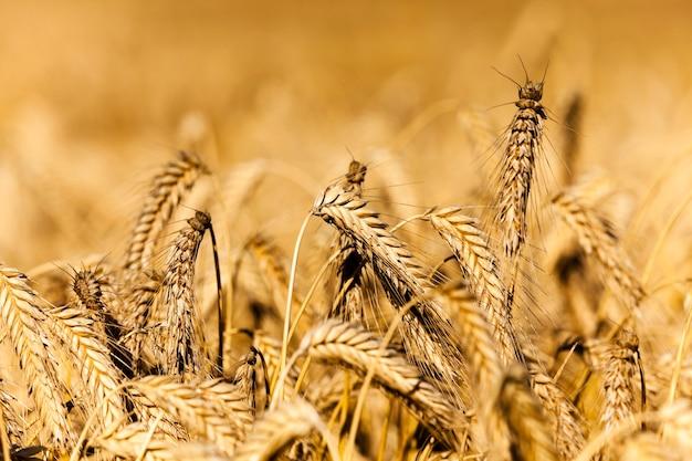 撮影されたクローズアップの熟したライ麦の金色。穀物の収穫