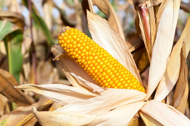 Photographed close-up of ripe yellow dried corn growing in an agricultural field