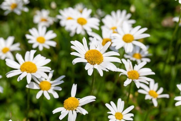 咲いている白いデイジーをクローズアップして撮影