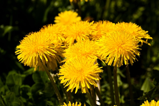 Photographed close up yellow dandelion flowers.  nature
