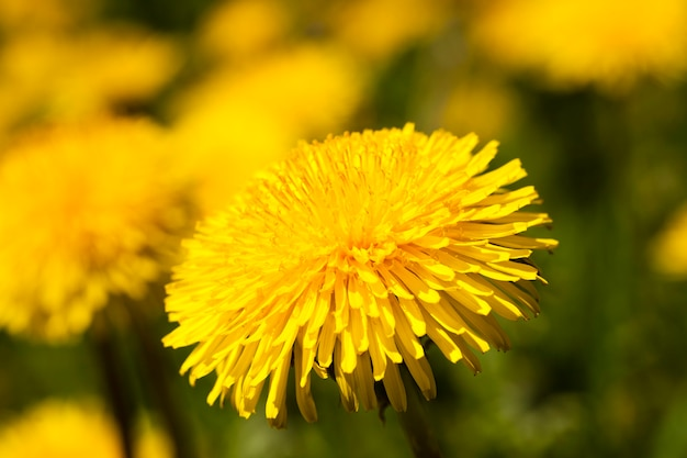 Photographed close up of yellow dandelions. spring