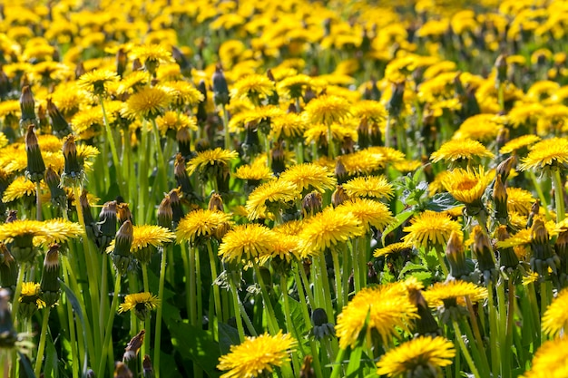 Photographed close-up of yellow dandelions in springtime, shallow depth of field