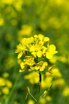 강간의 노란 꽃을 가까이 촬영. 농업