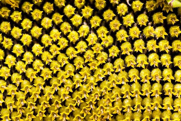 Сфотографированный крупным планом желтый цветок подсолнечника. фоны