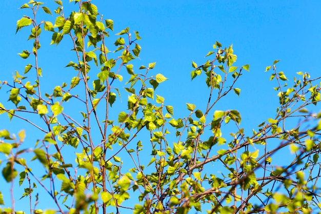 Photographed close-up of a young birch tree green leaves on the blue sky