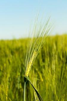 Сфотографировал незрелые крупы крупным планом. весенний сезон. пшеница