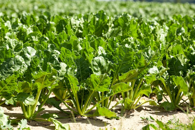 Сфотографированный крупным планом молодой свекольной зелени, растущей в поле