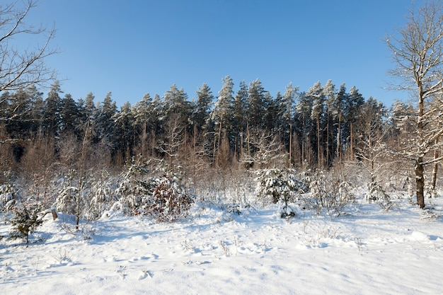 Photographed forest in the winter season covered with snow and frost