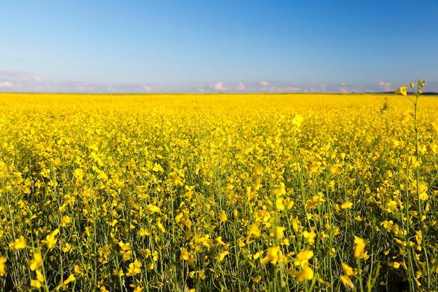 Снято растет в сельскохозяйственных угодьях цветок рапса, голубое небо в