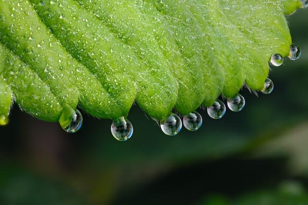 딸기의 녹색 잎에 촬영 된 매크로 큰 이슬 방울