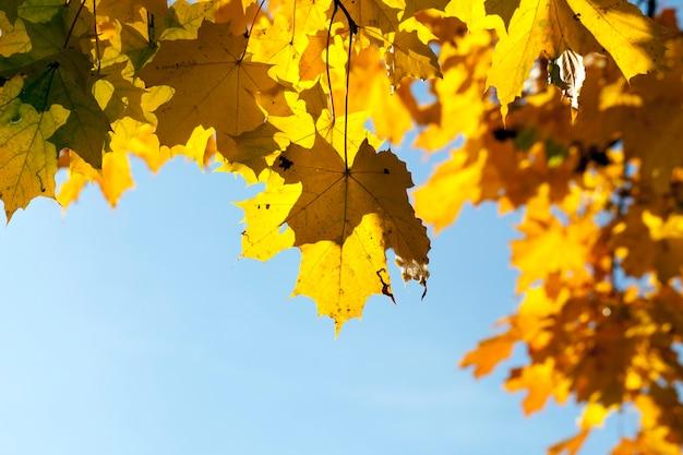 Сфотографировал клен в осенний сезон. на ветвях пожелтевшая и желтая листва.