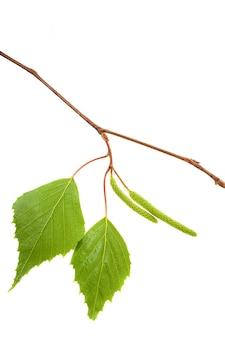 Снято на белом фоне зеленая молодая листва березы